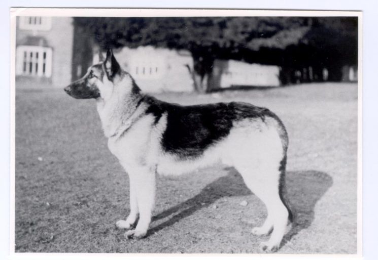 First Police dog 'Prince' 1959. (Gloucestershire Police Archives URN 177)