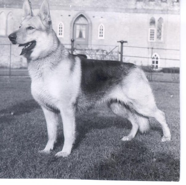 Police Dog 'Chan' - Regional and National Police Dog Champion - 1965. (Gloucestershire Police Archives URN 210)