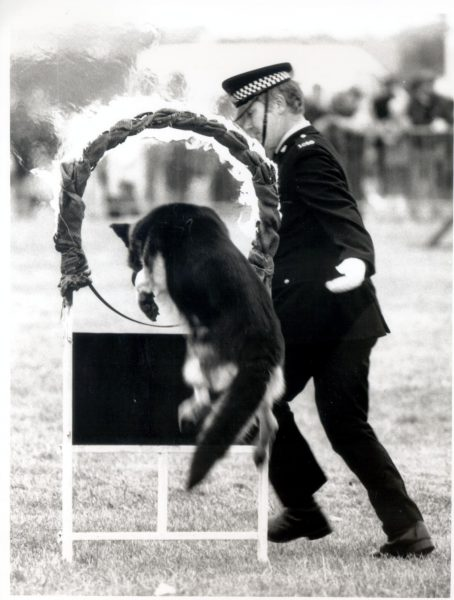 Police dog and handler - dog jumping through flaming hoop at Gloucestershire Constabulary 150th Anniversary event, Staverton Airport. Dog handler is Police Constable 1010 Tim Nash, with Police Dog Max. (Gloucestershire Police Archives URN 537)